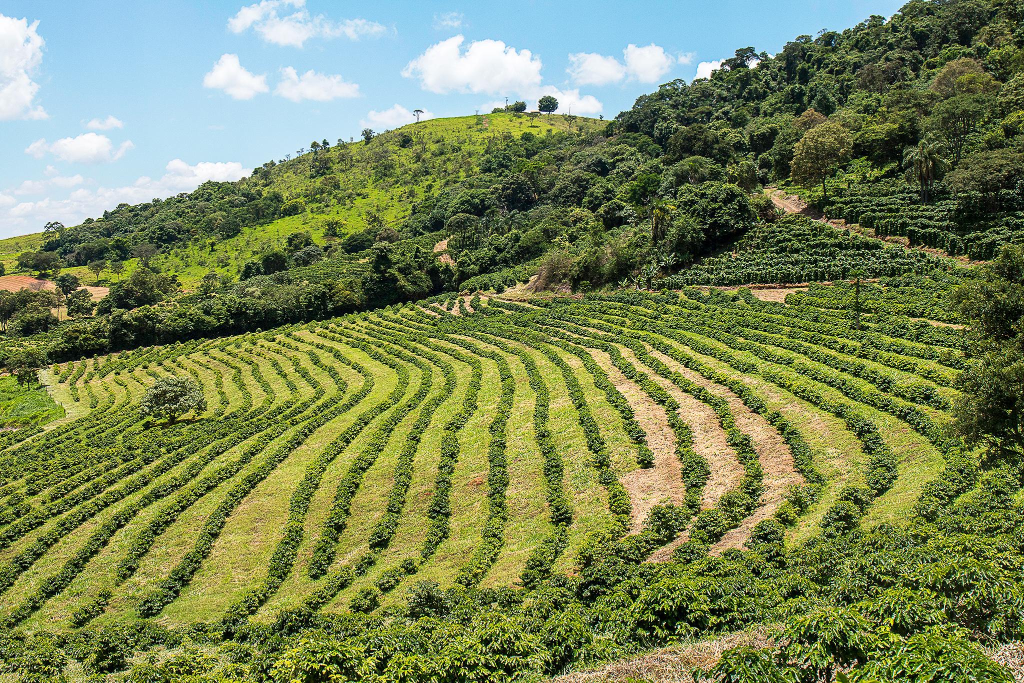 Pequena plantação de café do sítio São Judas Tadeu, em Ouro Fino (MG)
