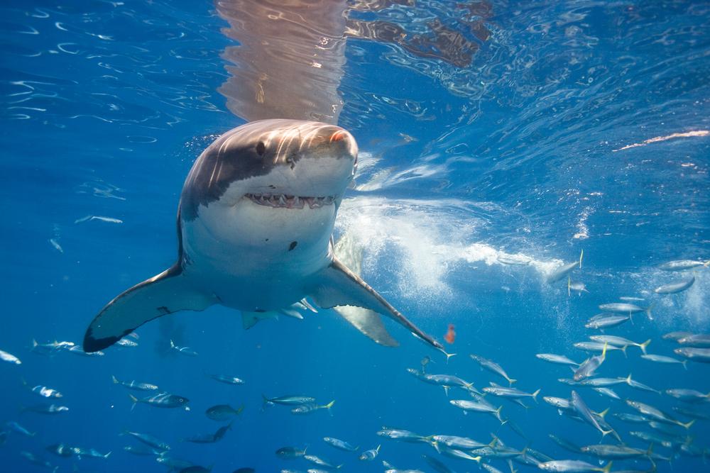Tubarão nada no meio de peixinhos