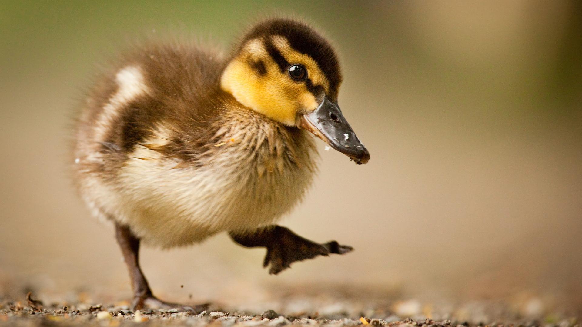 Filhote de pato